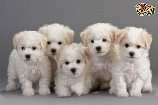5-beautiful-bichon-frise-full-kc-puppies-for-sale-51d555ad4331a
